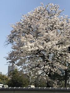 郷一番咲いている谷中霊園の桜